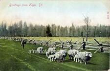 "Photo 1905 Elgin Illinois ""Farmer following Sheep"""