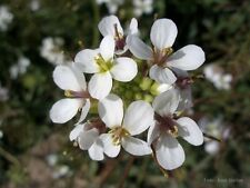 Wasabi Arugula Diplotaxis Erucoide 250 seeds *Wasabi substitute CombSH