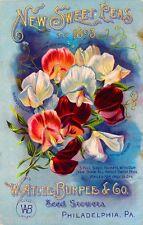 1893 - Burpee New Sweet Peas Vintage Flowers Seed Packet Advertisement Poster