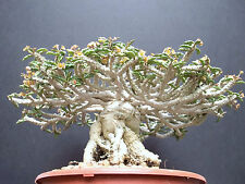 Euphorbia capsaintemariensis exotic madagascar bonsai caudex cacti seed 10 seeds