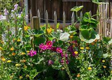 10lfm Blühender Zaun Gartenzaun rankende Blumen Wicken Sommer Bauerngarten SAMEN