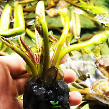 Nymphaea Alin B2G1 Tropical Blue Water Lily Tuber Live Aquatic Plants Pond Tank
