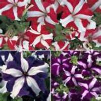 Petunia- Star Mix- 100 Seeds- BOGO 50% off SALE