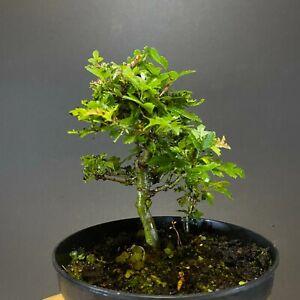 Hawthorn (Crataegus monogyna) Bonsai Tree in Training (Shohin/Mame)