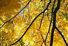 ACER PLATANOIDES- NORWAY MAPLE -  10  SEEDS Orange to golden yellow in Autumn