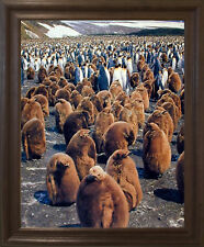King Penguins Colony Wildlife Wall Brown Rust Framed Picture Art Print (19x23)