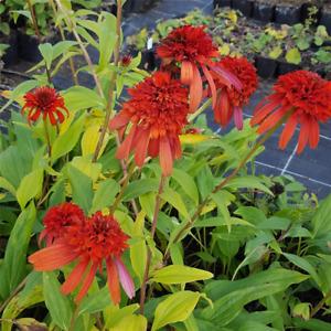 Echinacea purpurea 'Hot Papaya' -R- - Garten-Scheinsonnenhut 'Hot Papaya'® -…