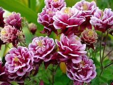 25+ AQUILEGIA  VULGARIS BARLOW ROSE COLUMBINE FLOWER SEEDS / PERENNIAL