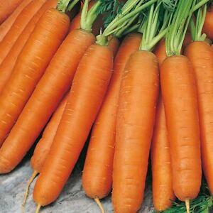 100All year round Giant carrot Seeds, vegetable Garden Fruit Plant, Rare UK