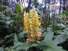 Hedychium gardnerianum, Kahili ginger, Kahila garland-lily,ginger lily 5cm plant