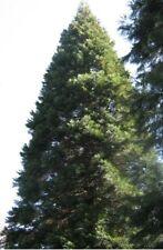 100 Samen Riesen-Mammutbaum Sequoiadendron giganteum, Bergmammutbaum, winterhart