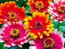 50+ CARROUSEL MIX ZINNIA  FLOWER SEED S/ LONG LASTING ANNUAL/ DEER RESISTANT