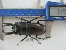 31545.Unmounted insects:Weinreichius perroti. South Vietnam.74mm.big size