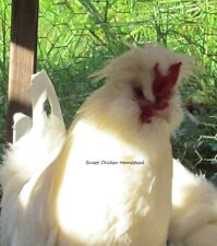 White Sultan Unique Sparkling Plumage Bearded Endangered 14+ Hatching Eggs! Npip