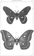 SILKMOTHS. Bombyx(attacus)Cecropia Male; Paphia femelle 1879 old antique print