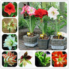 100Pcs Hippeastrum Amaryllis Flower Seeds Many Kinds Best Flowers For Decoration