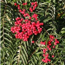Sorbus Chinese Lace Tree 12 litre Pot  1.8 metres tall British Grown