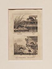 Buffon Antiguo montado impresión c.1800 - grabado-ratas y mouse, mouse
