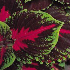 Flower - Coleus - Kong Red - 10 Pelleted Seeds