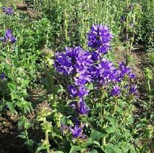 Flores Silvestres Semillas-en clúster Bellflower - 5000 Semillas