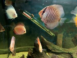 """Snakeskin Red Discus Tropical Fish Beautiful Discusmodo Colour 3"""""""