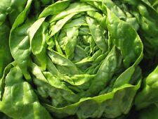 3000 BUTTER CRUNCH Lettuce Seeds, Lactuca sativa,  vegetable + FREE GIFT