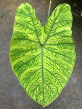 colocasia esculenta chou de chine feuilles striées strié plante bassin 1.80 m