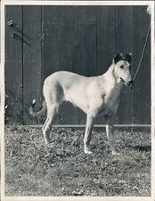 1950 Photo Dog Collie Smooth Pebble Ledge Larkspur Cleveland Club Show