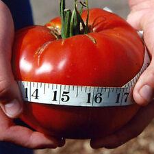 POMODORO GIGANTE DELICIOUS TOMATO -  POMODORI OLTRE I 3,0 KG, 25 SEMI