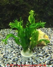 Windelov fougère de Java-Microsorum pteropus windelov plantes aquatiques, barschfest