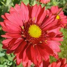 Gaillardia burdeos - 25 semillas