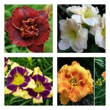 50Pc Hemerocallis Hybrida Flowers Seeds Daylily Decorative Blooming Garden Plant