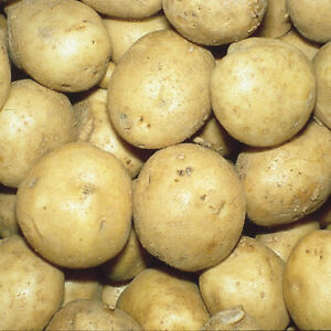 Certified heirloom Kennebec seed potatoes 2 LBS - $3.95+ ship - Chemical Free