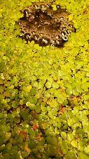 DUCKWEED FLOATING PLANT- LIVE AQUATIC PLANTS FOR AQUARIUM approx 100 pieces
