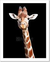 Giraffe Black Background Art Print Home Decor Wall Art Poster - D