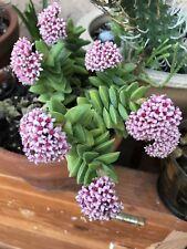 """Aloinopsis Matherbli Mimicry plant 2.5/"""" Pot"""