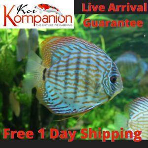 """1/2/3XBlue Turquoise Discus Fish 2-3"""" Aquarium Koi Kompanion Free 1 Day Shipping"""