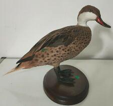 Taxidermie Oiseau Naturalise canard à bec rouge Cabinet De Curiosité