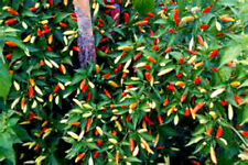 Tobasco Hot Pepper Seeds!  YOU CAN GROW THIS PEPPER INTO A TREE!  SEE OUR STORE!