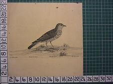 c1735 PRINT THE TITT LARK ~ ANTIQUE BIRD PRINT ELEAZER ALBIN ~