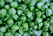 3900mg Lettuce Leaf BASIL Seeds ~2300 Ct ~ Large Leaves for Pesto or Wraps Herbs