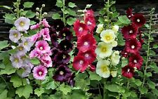 100Pcs Hollyhock Seeds Flowers Alcea Mallow Rose Ornamental Medical Honey Plants