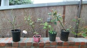 Bloomfield Abundance rose, Shrub, Tree, plant