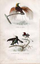 BUFFON / LES OISEAUX. L'Oiseau de Paradis - Le Manucode Noir - Le Manucode