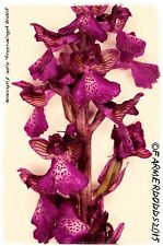 Anacamptis morio 'Green-winged Orchid'  [Syn. Orchis morio] 200+ SEEDS