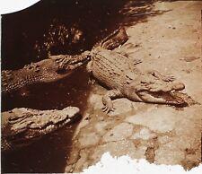 INDO-CHINE Crocodiles Plaque de verre stéréo Vintage ca 1920