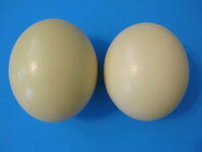 "2 Large 16-17"" Ostrich Egg, Shiny Thick Shell, BlownOut, from the Usa! Free Ship"