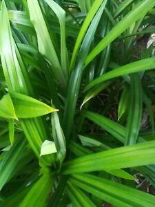 50 Pandan Fragrant Pandanus Amaryllifolius  dried leaves phytosanitary certified