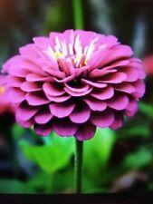 20 graines de Zinnia rose bio