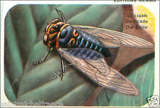Cigale Cicadidae Cicada  INSECT IMAGE CARD 60s